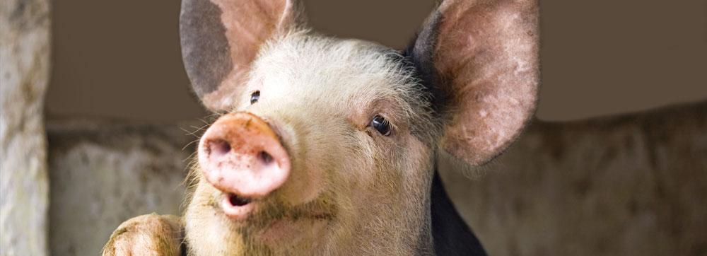 Porcs - Offre éleveurs