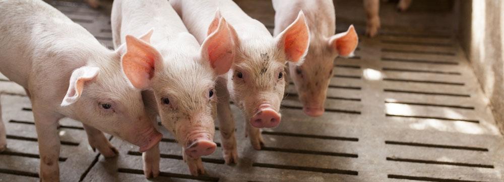 Porcs - Offre groupements-coopératives
